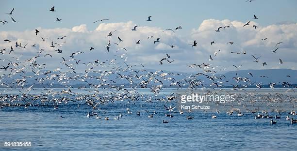Seagulls and other birds flying over sea, Puget Sound, Washington, USA