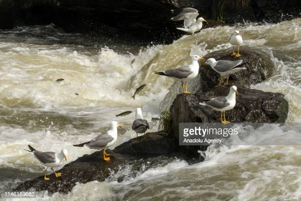 Seagulls attempt to steal pearl mullets over the water at the Lake Van in Van Turkey on May 25 2019 The pearl mullets which live in sweet water salty...
