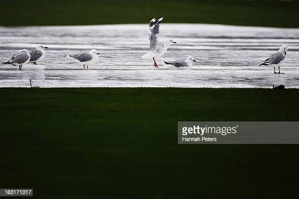 Seagulls bath on the pitch in the rain during day one of the First Test match between New Zealand and England at University Oval on March 6 2013 in...