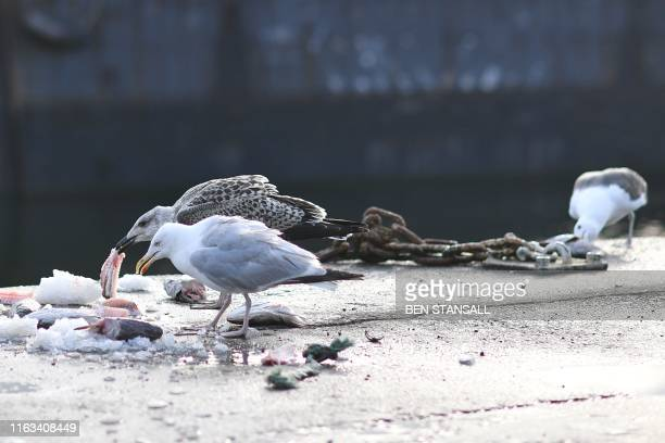 Seagulls eat discarded hake remains from fishmonger Lenny Walters in Milford Haven in Wales on August 21 2019 Locals in Milford Haven a oncethriving...