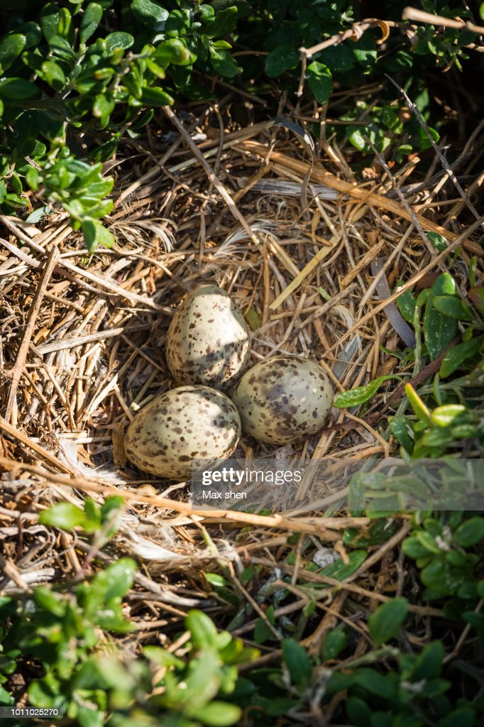 Seagulls Eggs Laying In The Nest Stock Photo - Getty Images