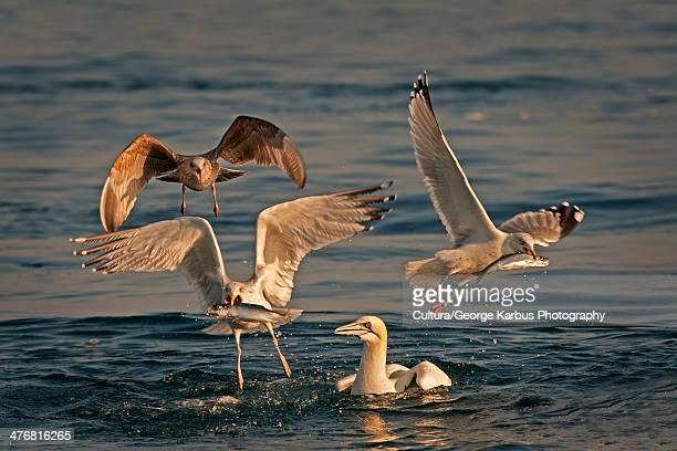 seagulls fishing in water - skellig michael ストックフォトと画像