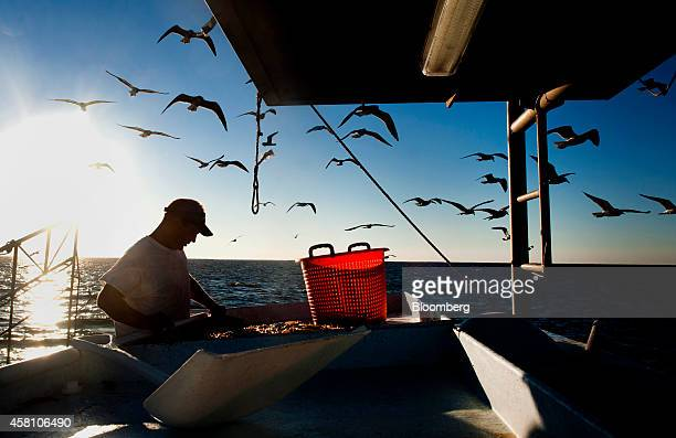 Seagulls fly over head as a shrimper sorts the day's catch on a shrimping boat off the coast of Grand Isle Louisiana US on Wednesday Oct 22 2014...