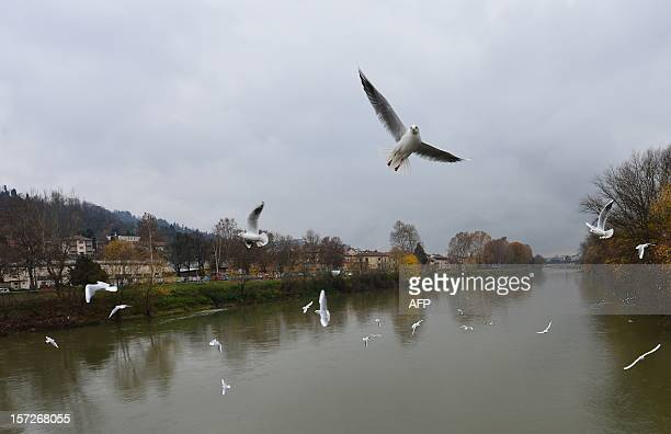 Seagulls fly over the Po river in Turin on December 1 2012 AFP PHOTO / GIUSEPPE CACACE