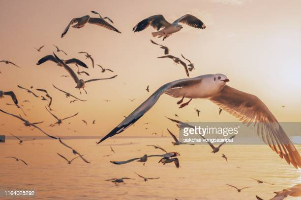 seagulls flying above sea against sky during sunset,thailand - water bird stock pictures, royalty-free photos & images