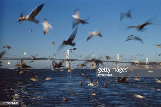 Seagulls flying across and in the background San FranciscoOakland Bay Bridge San Francisco UK 1961