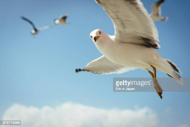Seagulls flying against blue sky, Sendai, Tohoku, Japan