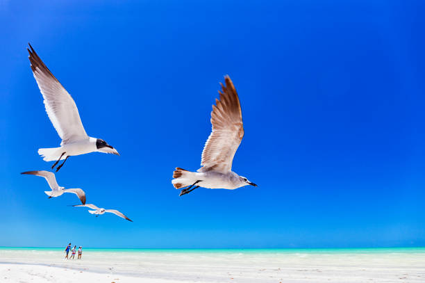 Seagulls flying against clear blue sky at Holbox island, Quintana Roo, Yucatan, Mexico
