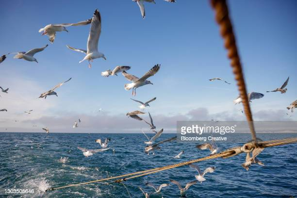 seagulls flying alongside a fishing trawler - sea stock pictures, royalty-free photos & images