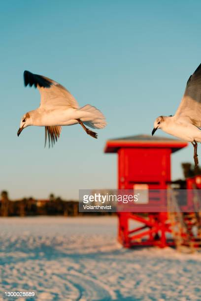 seagulls flying and red baywatch beach hut at sunset in florida - siesta key stock pictures, royalty-free photos & images