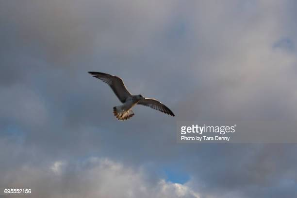seagulls flying at lake michigan - indiana dunes national lakeshore stock photos and pictures