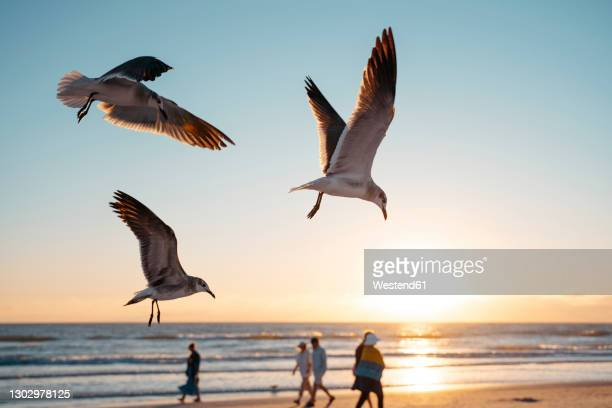 seagulls flying at siesta key beach against sky during sunset - siesta key stock pictures, royalty-free photos & images