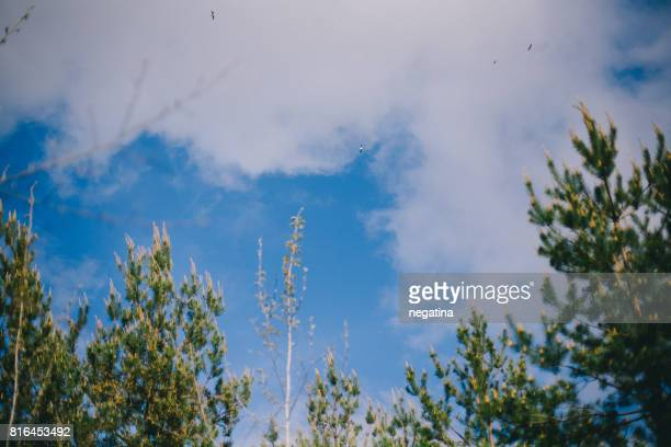 seagulls flying high over the pine trees