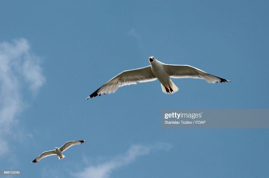 Seagulls flying in sky : Stock Photo