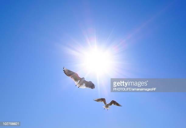 seagulls flying in the sky, tokyo prefecture, honshu, japan - 2匹 ストックフォトと画像