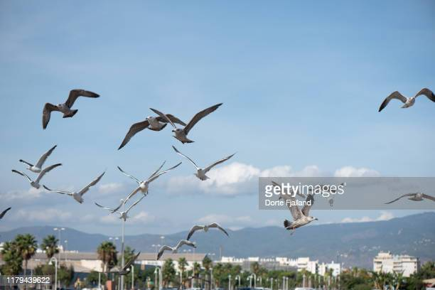 seagulls flying low over málaga on a sunny day - dorte fjalland stock pictures, royalty-free photos & images