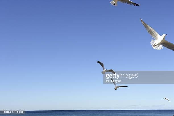 seagulls flying over beach - manly wilder stock-fotos und bilder