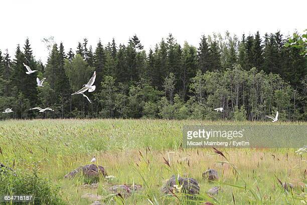 Seagulls Flying Over Field Against Sky