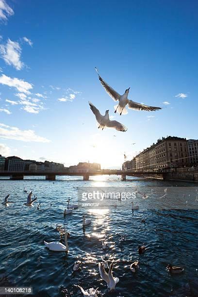 Möwen fliegen über Genf
