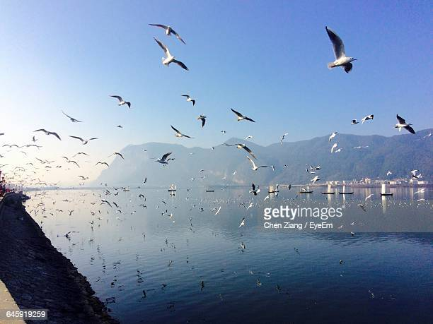 Seagulls Flying Over Lake Against Clear Sky At Haigeng Park