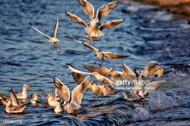 seagulls flying over lake - pelican stock pictures, royalty-free photos & images