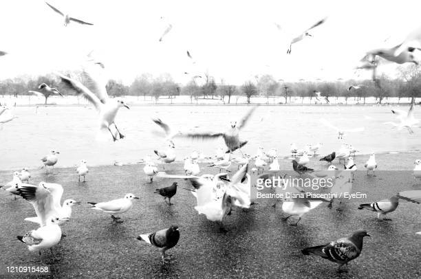 seagulls flying over lake - beatrice stock pictures, royalty-free photos & images