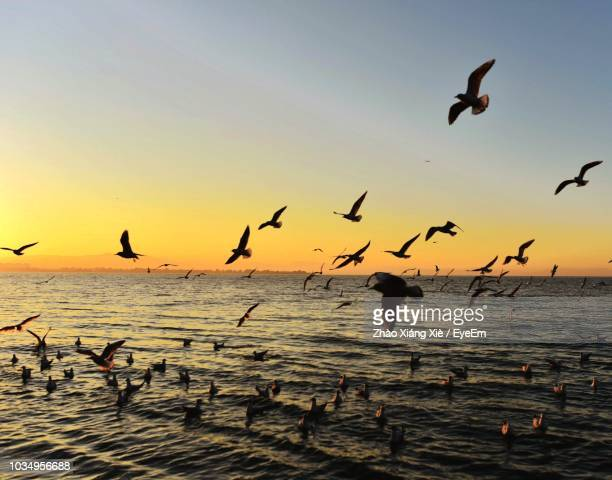seagulls flying over sea against sky during sunset - 海洋性の鳥 ストックフォトと画像