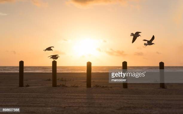 seagulls flying over wooden posts on beach, port aransas, texas, america, usa - corpus christi - fotografias e filmes do acervo
