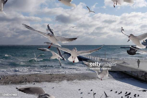 seagulls flying to the camera, with a winter sea behind them. - ukraine landscape stock pictures, royalty-free photos & images
