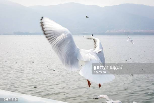seagulls flying under the blue sky - diving to the ground stock pictures, royalty-free photos & images