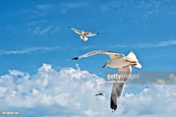 Seagulls flying,northern Dalmatia.