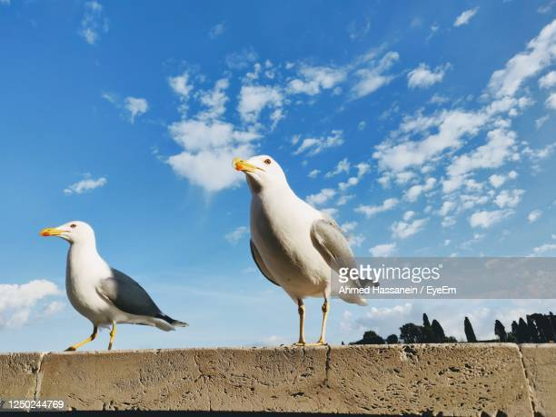 seagulls hoping for food - perching stock pictures, royalty-free photos & images