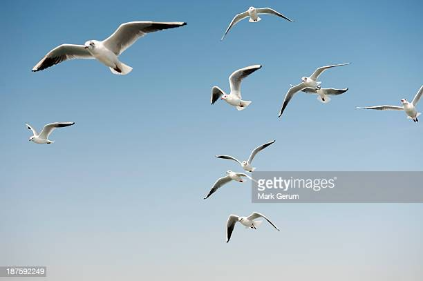 Seagulls in a clear sunny sky