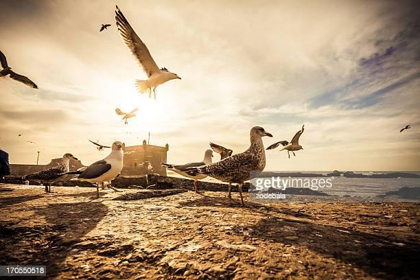 Seagulls in Essaouira Harbor at Sunset, Morocco