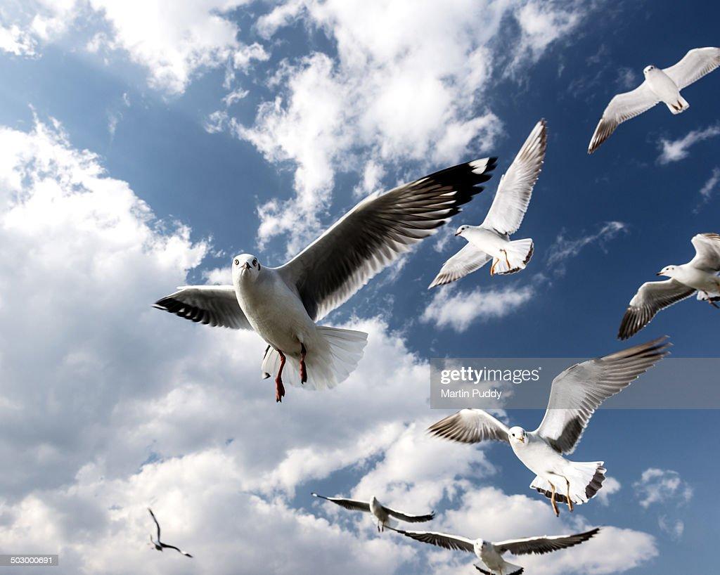 Seagulls in flight at Inle lake : Stock Photo