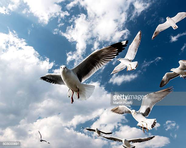 Seagulls in flight at Inle lake