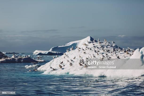 seagulls in icebergs - ilulissat harbor - ilulissat stock-fotos und bilder