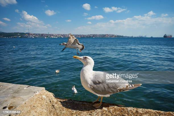 seagulls in the marmara sea, bosphorus strait, istanbul - royal tour stock pictures, royalty-free photos & images