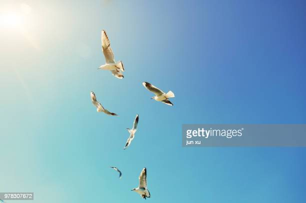 seagulls in the sky - bird stock photos and pictures