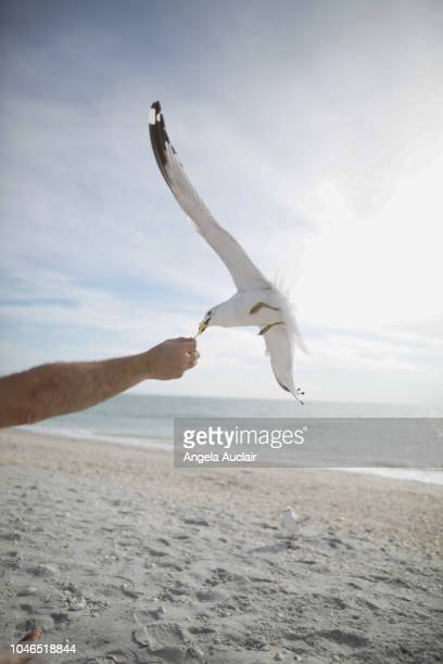 seagulls on a beach in sanibel, florida - feeding frenzy stock photos and pictures