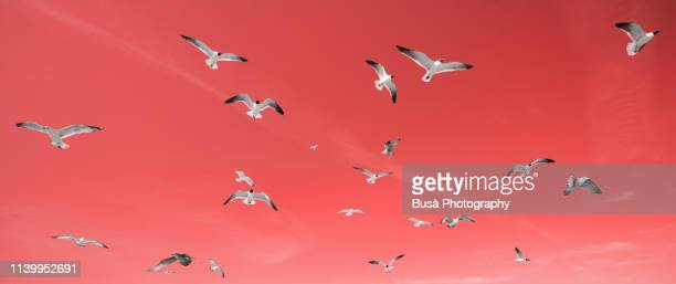 seagulls on a clear blue sky (image manipulation with living coral pantone, color of the year 2019) - 2010 2019 stock pictures, royalty-free photos & images