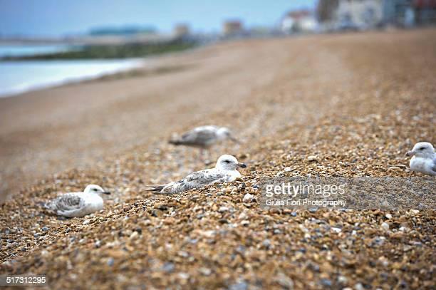 seagulls on a pebble beach - alamy stock-fotos und bilder