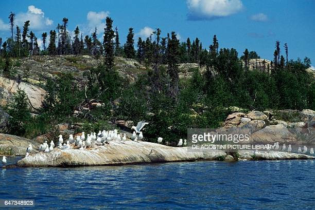 Seagulls on a rock in the Great Slave Lake Northwest Territories Canada