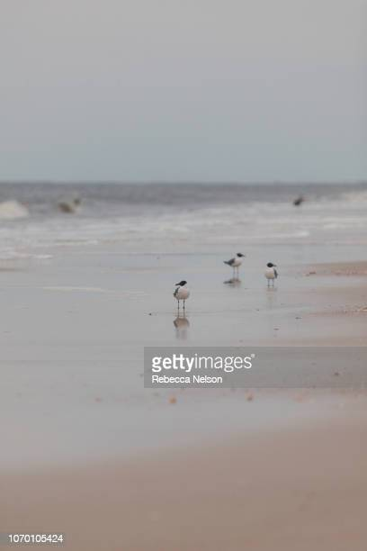 Seagulls on beach in Dauphin Island, Alabama