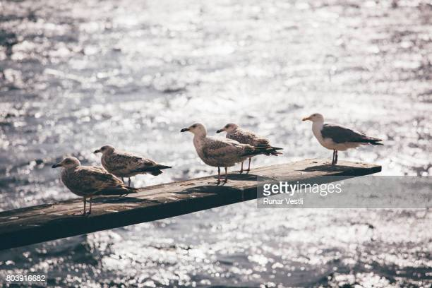 Seagulls on diving board