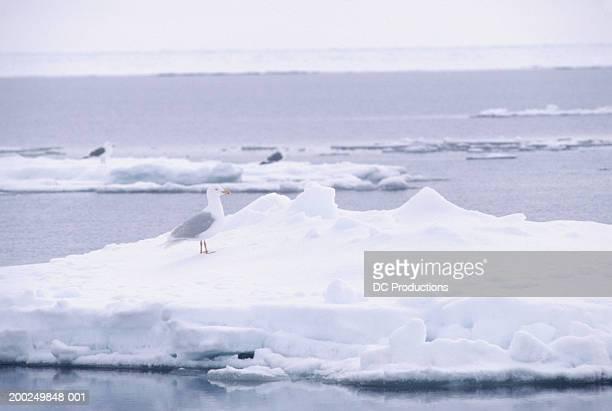 Seagulls on floes, Baffin Island, Canada
