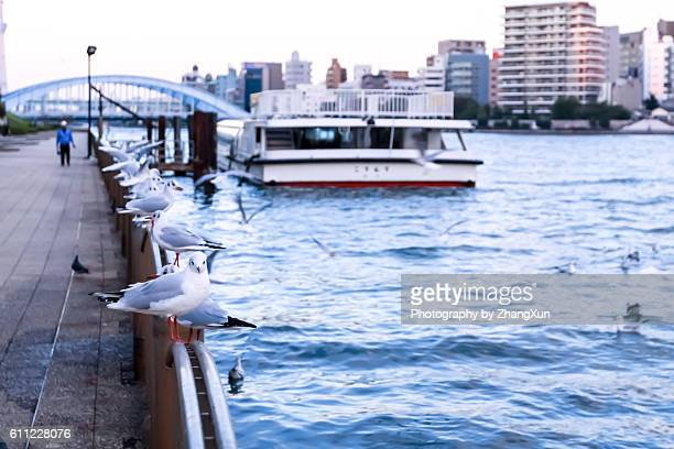 seagulls on railings, eidai bridge and buildings in background, tokyo, japan. - 永代橋 ストックフォトと画像