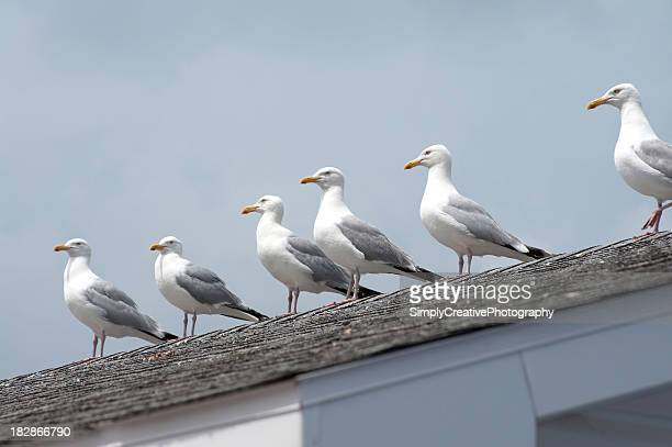 Seagulls on Roof