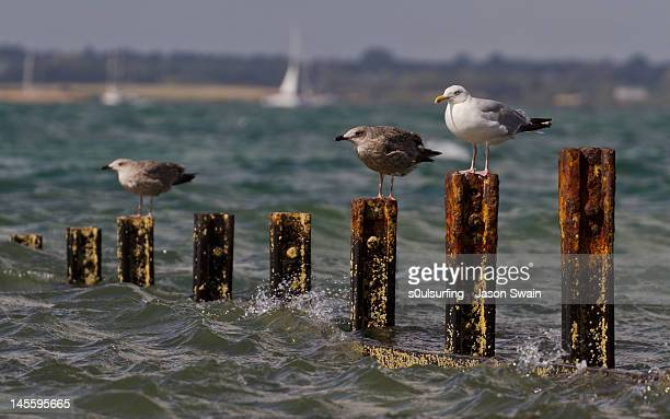 seagulls on rusty groynes - s0ulsurfing stock pictures, royalty-free photos & images