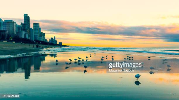 Seagulls on the beach of Gold Coast, Australia, with skyscrapers before sunrise